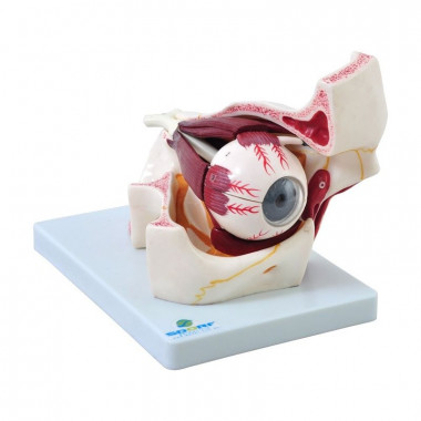Modelo anatômico de olho em órbita, confeccionado em PVC, acrílico e resina plástica emborrachada, ajuda no aprendizado das estruturas externas e internas presentes no olho;