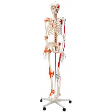 Esqueleto Humano Padrão de 1.70 cm com Articulações e Inserções Musculares com Haste com Suporte e Rodas