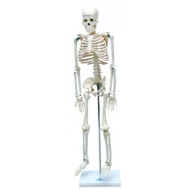 Esqueleto Humano de 85 cm com Haste e Suporte