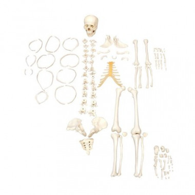 Esqueleto Humano Desarticulado