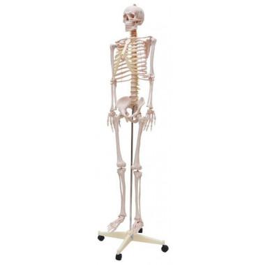 Esqueleto Humano Padrão de 170cm com Haste com suporte e rodas
