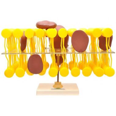 Membrana Celular (Biomembra)