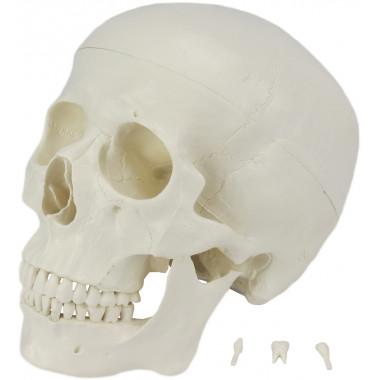 Crânio com Mandíbula Móvel 3 Partes