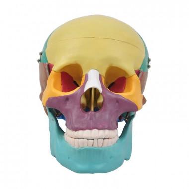 Crânio Colorido com Mandíbula móvel em 3 partes