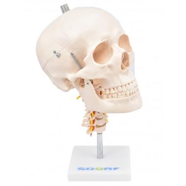 Crânio com Mandíbula Móvel e Coluna Cervical