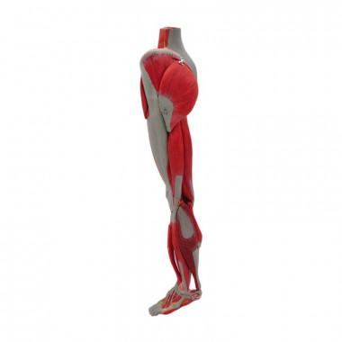Perna com Músculos, Nervos e Veias em 10 Partes