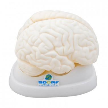Modelo anatômico de cérebro em 3 partes, confeccionado em resina plástica emborrachada, Este modelo anatômico de cérebro em tamanho natural dividido em três partes;