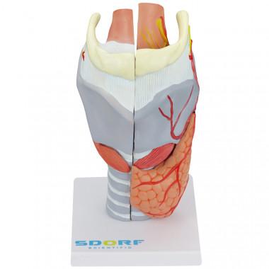 Laringe Humana Ampliada com Cartilagem em 5 partes