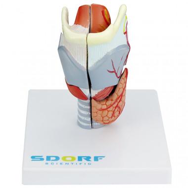 Laringe Humana em Tamanho real com Cartilagem em 5 partes