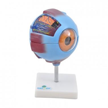 O modelo anatômico de olho ampliado em aproximadamente 10 vezes e dividido em 7 partes, e confeccionado em PVC e acrílico; O modelo SD-5043 apresenta as seguintes estruturas entre outras