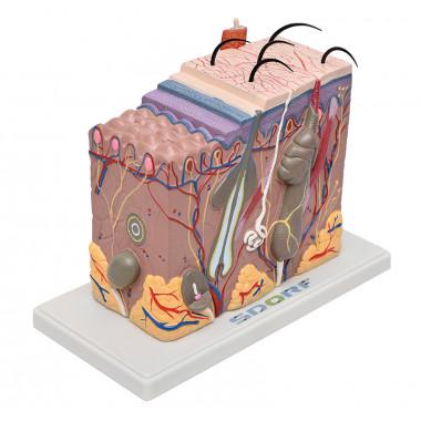 Modelo de pele ampliada em bloco, confeccionado em PVC, é um modelo com precisão anatômica e muito rico em detalhes que possibilita a visualização de forma detalhada de todas as camadas da pele. O modelo SD-5053 apresenta as seguintes estruturas entre out
