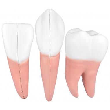Dentes em 6 Partes (Incisivo, Canino e Molar)