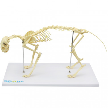 Esqueleto de Gato (Resina Plástica)