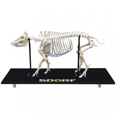 Esqueleto Natural de Porco Articulado (Sus Scrofa Domesticus)