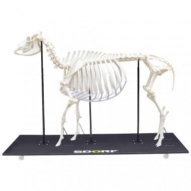 Esqueleto Natural Articulado de Boi (BosTaurus)