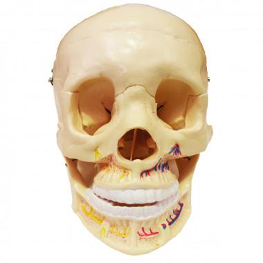 Crânio Mandíbula Aberta com Vasos e Nervos da Arcada Dentária
