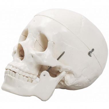 Crânio com 3 Partes em tamanho natural