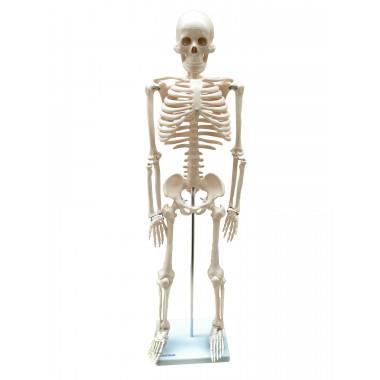 Esqueleto Humano de 85 cm com Haste e Suporte - Anatomic