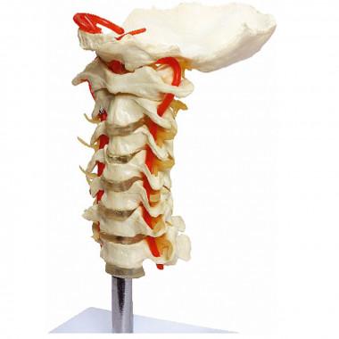 Coluna Vertebral Cervical em tamanho natural