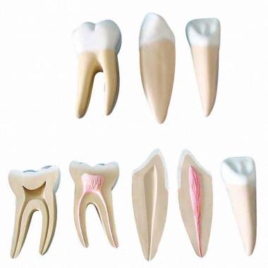 Modelo de Dentes Ampliados - Canino, Incisivo e Molar