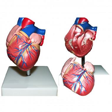 Coração Tamanho Natural com 2 Partes