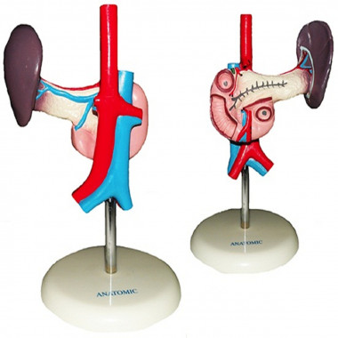 Modelo Anatômico Pâncreas e Duodeno