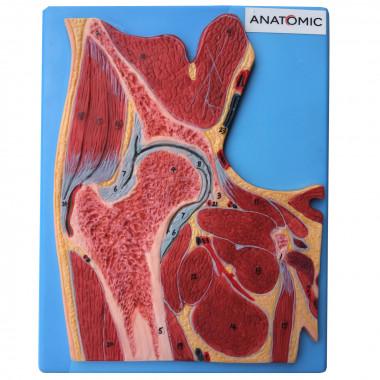 Secção da Articulação do Quadril modelo anatomico