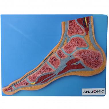 Secção Mediana do Pé Modelo Anatomico