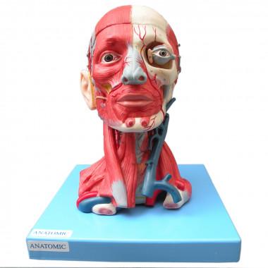Cabeça com Músculos e Cérebro em 10 Partes Modelo Anatômico
