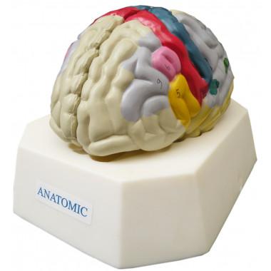 Cérebro com Região Funcional do Córtex Modelo Anatômico