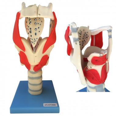 Modelo funcional da laringe Anatomic TZJ-0314-F