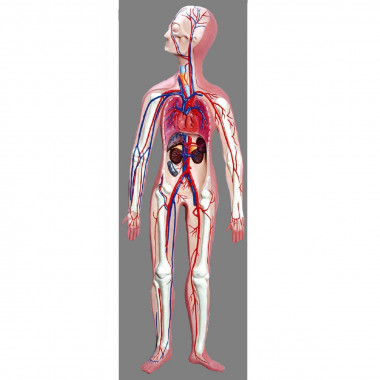 Modelo Anatômico Sistema Circulatório