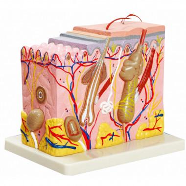 Corte de Pele (Modelo em Bloco Ampliado 70x)
