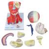 Cabeça e Pescoço Musculados em 10 Partes