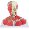 Cabeça, Pescoço e parte do Tronco Musculados em 19 partes