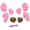 Cérebro com Tamanho Natural em 8 Partes com Artérias