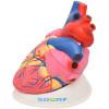 Coração Ampliado em 3 Partes