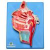 Nervos e Vasos Sanguíneos da Face