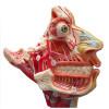 Crânio Facial com Demonstrativo de Nervos