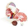 Cabeça com 4 Partes Modelo Anatômico Humano