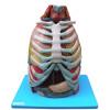 Cavidade Torácica 17 partes Modelo Anatomico