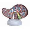 Modelo Anatômico Fígado Luxo