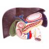 Fígado com Vesícula Biliar, Pâncreas e Duodeno Modelo Anatômico