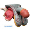 Órgão Genital Masculino Dividido em 5 Partes. TZJ-0353-E